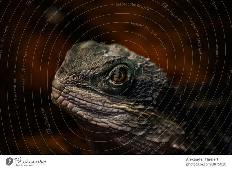 Portrait einer Echse Bartagam mit rot braunem Hintergrund Bartagame Echsen Reptil Echsenauge Tierporträt Porträt bartagam Echsenart Tiergesicht Auge Nahaufnahme