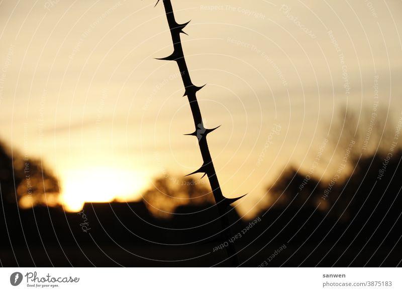 Zweig bei Sonnenaufgang Dornen Stacheln Spitze Pflanze stachelig Außenaufnahme Haus Natur