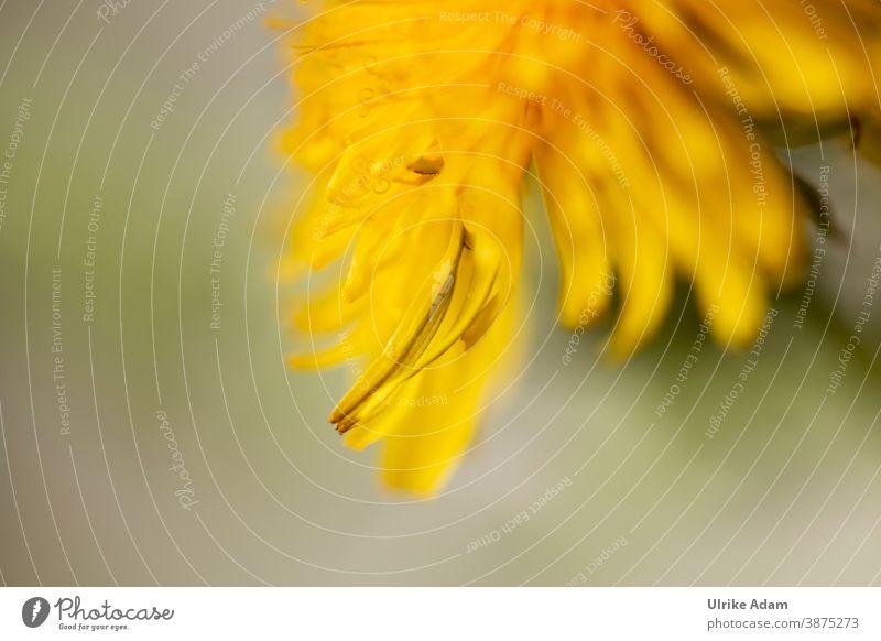 Zarte gelbe Blüte des Löwenzahn (Taraxacum) Heilkräuter Pflanze Blume Natur Frühling Nahaufnahme Makroaufnahme Außenaufnahme Pusteblume grün Wildpflanze