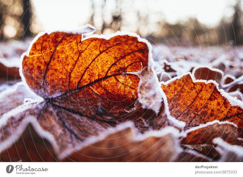 Raureif bedecktes Laub in Berlin Landschaft Ausflug Natur Umwelt wandern Pflanze Herbst Baum Wald Akzeptanz Vertrauen Glaube Herbstlaub Herbstfärbung