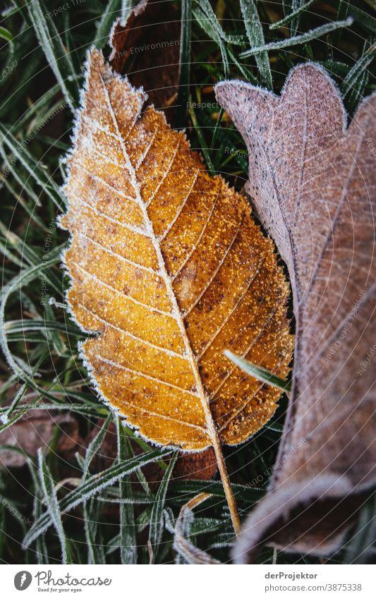 Raureif bedecktes Laub in Berlin III Landschaft Ausflug Natur Umwelt wandern Pflanze Herbst Baum Wald Akzeptanz Vertrauen Glaube Herbstlaub Herbstfärbung