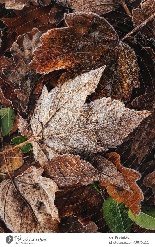 Raureif bedecktes Laub in Berlin II Landschaft Ausflug Natur Umwelt wandern Pflanze Herbst Baum Wald Akzeptanz Vertrauen Glaube Herbstlaub Herbstfärbung