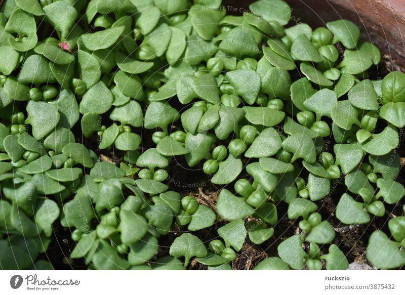 Basilikum, Ocimum basilicum, ist eine Heilpflanze und Kuechengewuerz mit gruenen Blaettern. Basil, Ocimum basilicum, is a medicinal plant and kitchen ware with green leaves.