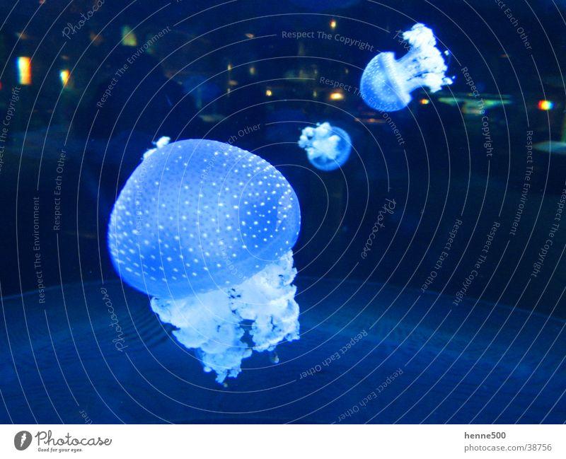 Leuchtende Quallen Wasser Meer Tier Aquarium