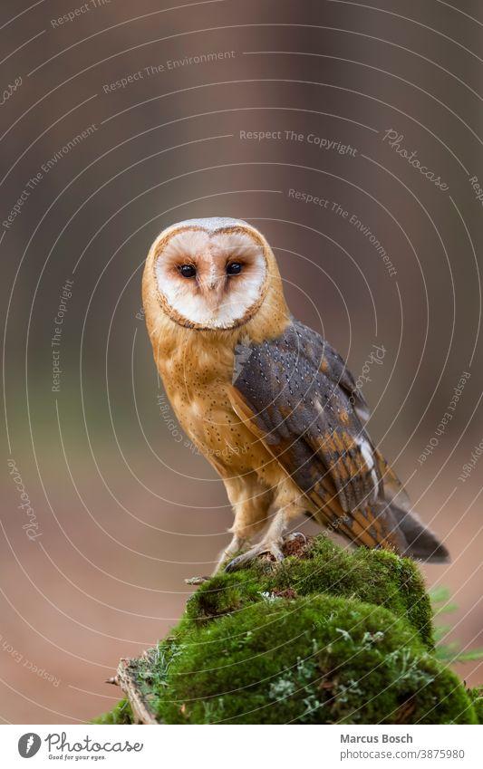 Schleiereule, Tyto alba, barn owl Barnyard Owl Cave Owl Church Owl Common Barn Owl Death Owl Delicate Owl Demon Owl Dobby Owl Eule Eulen Eulenvogel Eulenvoegel