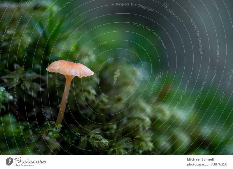 Sehr kleiner Pilz im Wald Makroaufnahme Natur Farbfoto Herbst Pflanze Wachstum grün Schwache Tiefenschärfe Menschenleer Außenaufnahme Moos Nahaufnahme