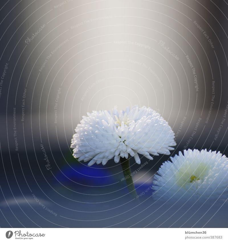 Blümchen Natur schön weiß Pflanze Sommer Blume Freude Frühling Blüte natürlich Garten stehen leuchten Wachstum Fröhlichkeit Freundlichkeit