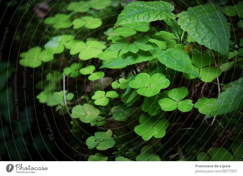 Waldboden mit Glücksbringern Klee kleeblätter Moos grün Boden frisch jung Sprösslinge Natur Pflanze Außenaufnahme Farbfoto Menschenleer Schwache Tiefenschärfe