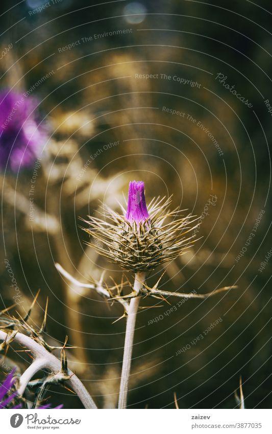 Nahaufnahme einer bedornten Knospe von Galactites tomentosa blühend Galaktitos tomentosa Natur Vegetation natürlich Blume Blüte Blütezeit blühte Botanik