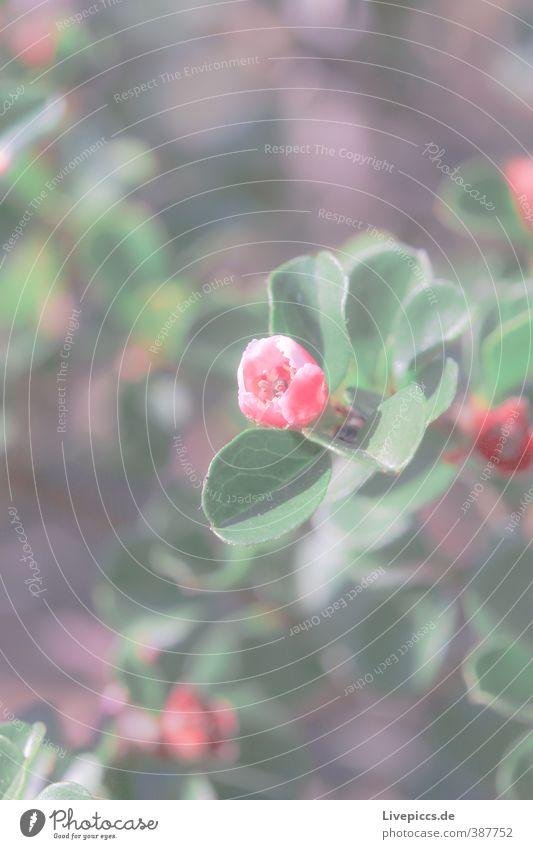 Rose??? Umwelt Natur Pflanze Sonnenlicht Sommer Baum Blume Blatt Blüte Nutzpflanze Garten Park Wiese Blühend Duft leuchten grün rosa Gelassenheit ruhig Farbfoto