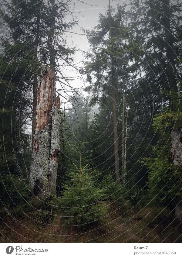 Novembertag Wald Bäume Nadelwald Harz Natur neblig Herbst Herbstwetter Landschaft herbstlich Herbstwald Nebel Baum Umwelt grün Wildnis Nebelstimmung