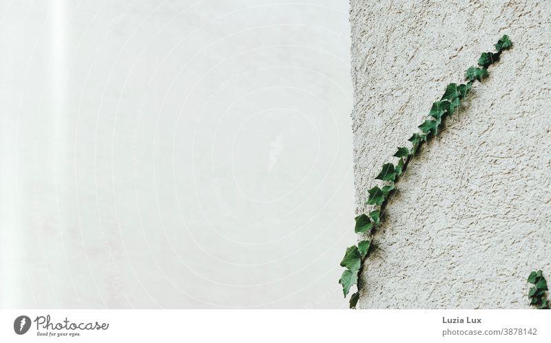 Efeuranken an einer Hauswand, grober Putz und zartes Licht Hausecke Gebäudeecke Gebäudeteil Ranke Putzfassade weiß grün festhalten Halt Pflanze Wand Mauer