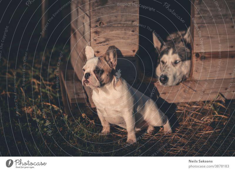 Französischer Bulldoggenwelpe und Siberian Husky Hund Tier Außenaufnahme Schlittenhund Farbfoto Tag Tierporträt Abenteuer Menschenleer beobachten Blick Haustier