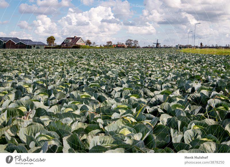 Anbau und Ernte von Spitzkohl Ackerbau Hintergrund schön Gemüsekohl Nahaufnahme geschnitten Diät essbar Feld Lebensmittel frisch Frische Garten Gartenarbeit