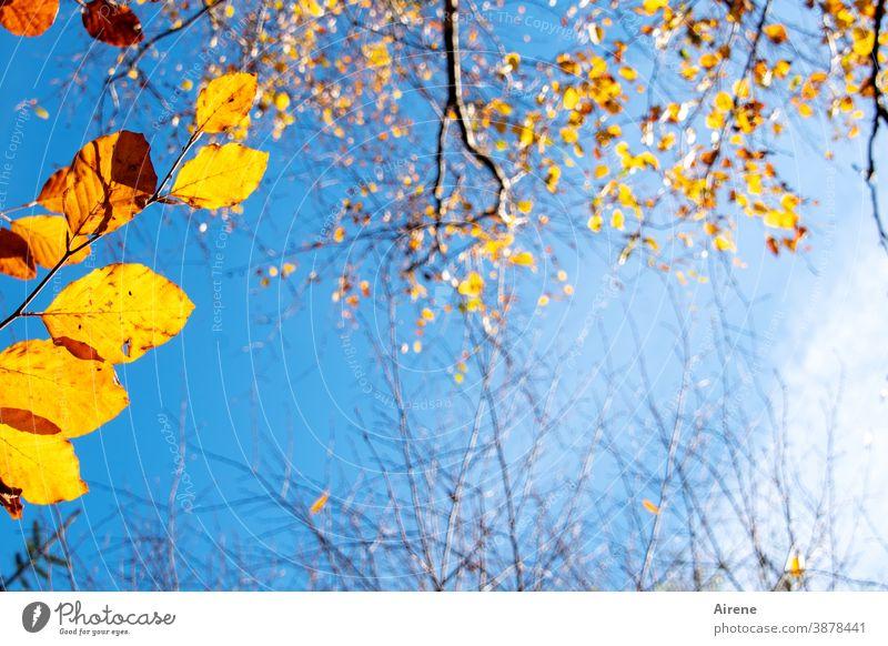 bevor die letzten Blätter fallen Baum leuchten Farbe orange gold Himmel Sonnenlicht Herbst Herbstlaub menschenleer herbstlich Natur Herbstfärbung Herbststimmung