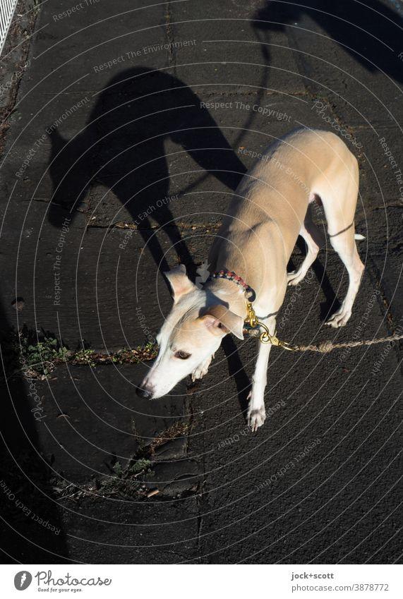 ein Hund ein Angsthase Tierporträt Walkies Silhouette Hundeblick Whippet Windhund Rassehund Gefühle Haustier Gassi gehen Vorsicht zaghaft angeleint