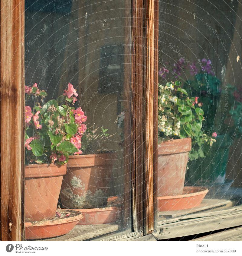 Früher Topfpflanze Fenster alt authentisch einfach bescheiden Begonien Fensterscheibe Holzfenster Quadrat Fensterbrett Blumentopf Stillleben Farbfoto