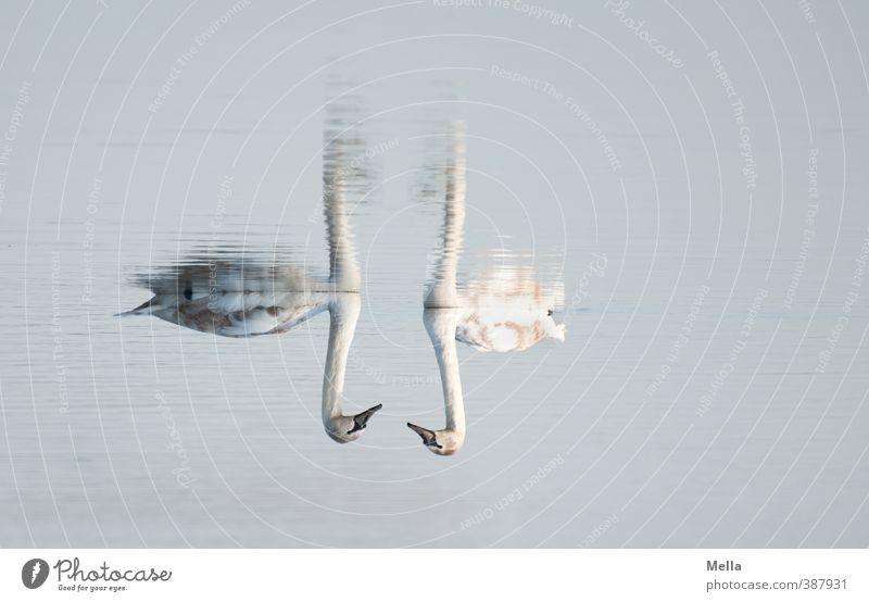 Zwei Umwelt Natur Tier Wasser Teich See Wildtier Schwan 2 Tierpaar Schwimmen & Baden natürlich blau Stimmung Sympathie Zusammensein Partnerschaft Perspektive