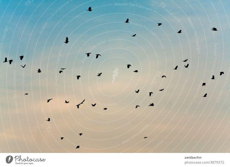 Fliegende Vögel flattern fliegen himmel kr#he möwe schwarm vogel vogelschwarm zugvogel weite abflug heimflug anflug rabe krähe star schoof schar vogelschar