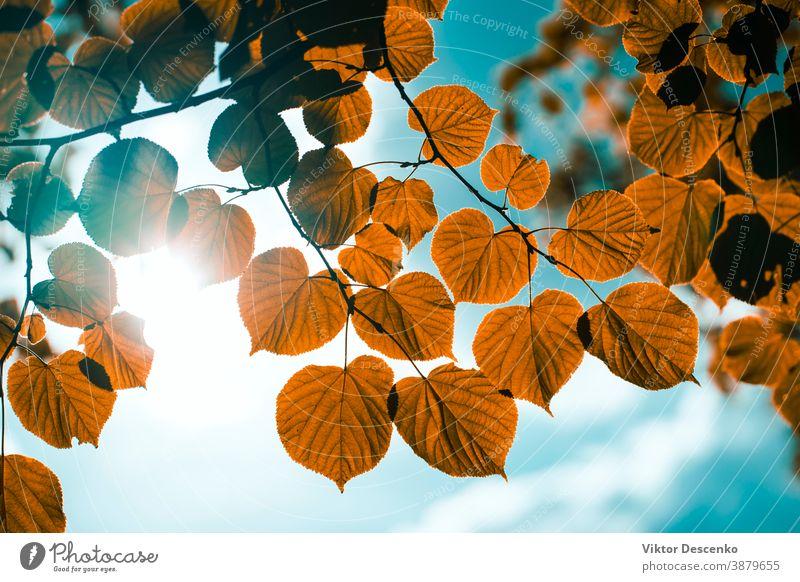 Gelbe Blätter auf dem Hintergrund der Sonne am Himmel Blume Design abstrakt Baum Rahmen Borte Sommer Textur Natur Blatt Frühling Licht Park golden Wald Herbst