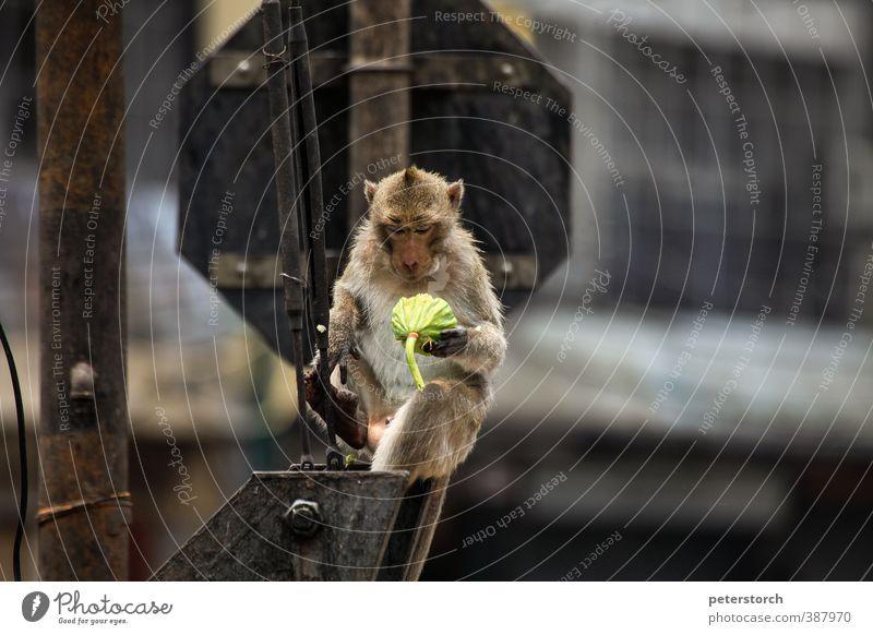 Affe Ferien & Urlaub & Reisen Tier Glück Essen außergewöhnlich Idylle sitzen Zufriedenheit genießen Pause Appetit & Hunger Gelassenheit Konzentration lecker