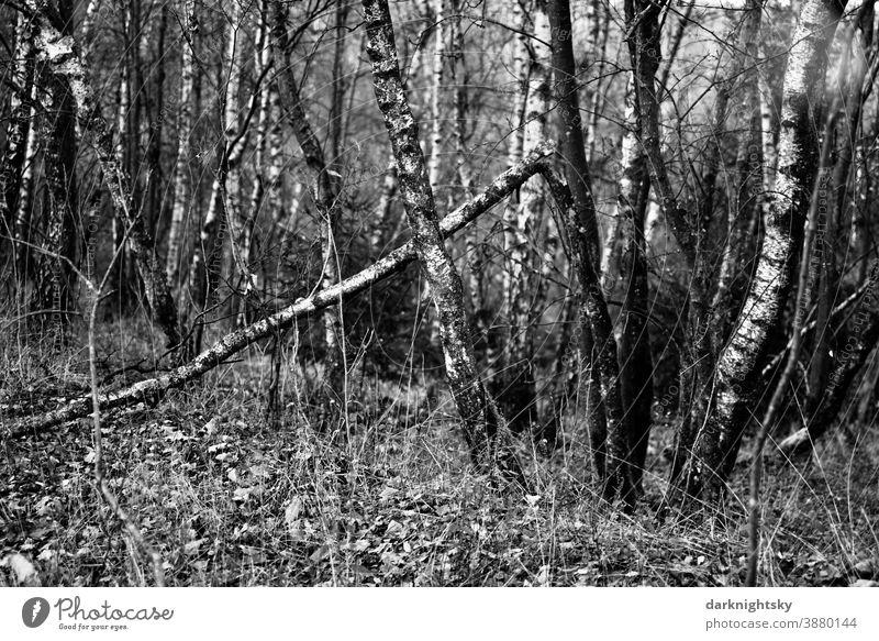 Niederwald im Siegerland mit auf den Stock gesetzten Birken (Betula pendula) Menschenleer düster helle Forstwirtschaft Krimi kontrastreich Herbst Oktober