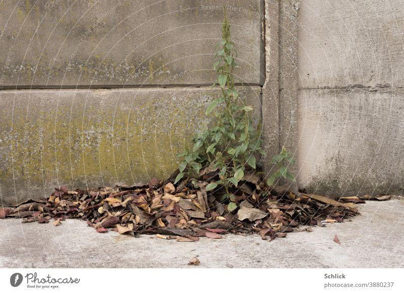 Verblühte Blütenpflanze vor Betonwand sucht Schutz und Nährstoffe im Herbstlaub Pflanze Wand Dünger Kompost Laub Kraut Grünpflanze Isolation Überleben
