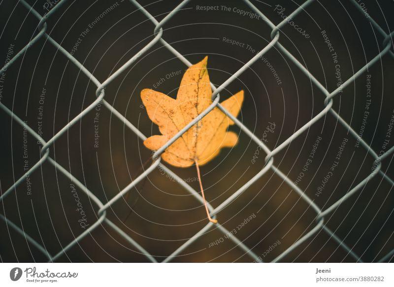 Vom Winde verweht - kleines gelbes herbstliches Ahornblatt im Maschendrahtzaun eingeklemmt und gefangen orange Herbst Blatt Herbstlaub Herbstfärbung
