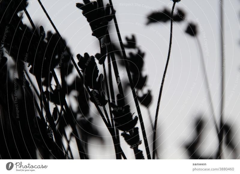 Lavendel Blüten Pflanze Blume Duft Violett schwarz weiß Sommer