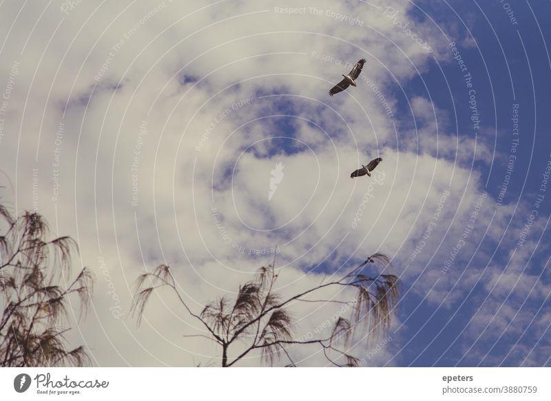 Zwei Weißbauch-Seeadler fliegen hoch gegen einen bewölkten Himmel in Queensland, Australien Adler fliegende Vögel bewölkter Himmel Flügel Farbfoto Natur