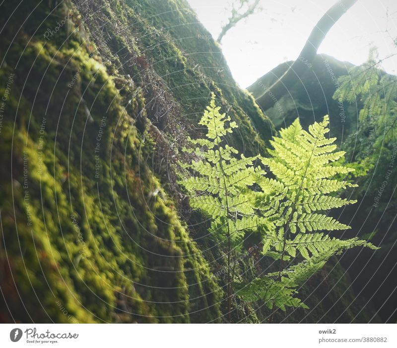 Steinbrecher Echte Farne Pflanze Sträucher Schönes Wetter Wachstum Wald Waldlichtung friedlich grün Baum Waldrand ruhig Idylle Strukturen & Formen Außenaufnahme