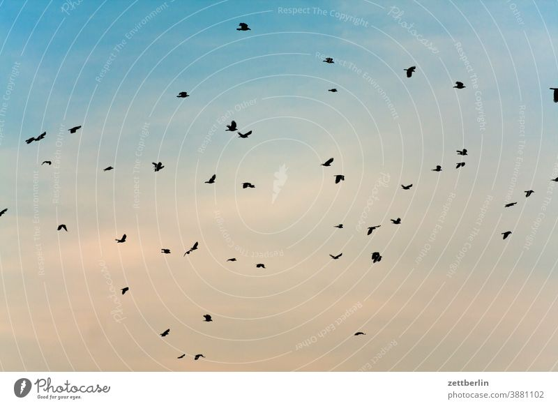 Fliegende Vögel flattern fliegen himmel kr#he möwe schwarm vogel vogelschwarm zugvogel krähe amsel star vogelschar wolke