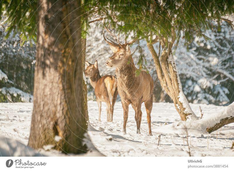Rothirsche im Winterwald - Rothirsche beim Äsen im Winterwald. Tier Hirsche Wald männlich Bullenhirsch Hirschkuh Weidenutzung erschrocken wach Jagd Schnee
