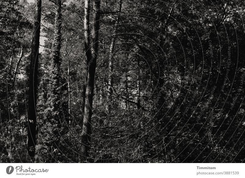 Ein etwas düsterer Sommerwald Wald Bäume Gebüsch Efeu Natur Baum Umwelt ruhig dunkel Menschenleer Schwarzweißfoto