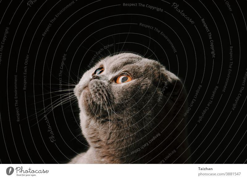 Studioporträt einer süßen, reinrassigen schottischen Faltkatze in Nahaufnahme . Schwarzer Hintergrund Auge Blick Haustier Katzenbaby Porträt Tier niedlich