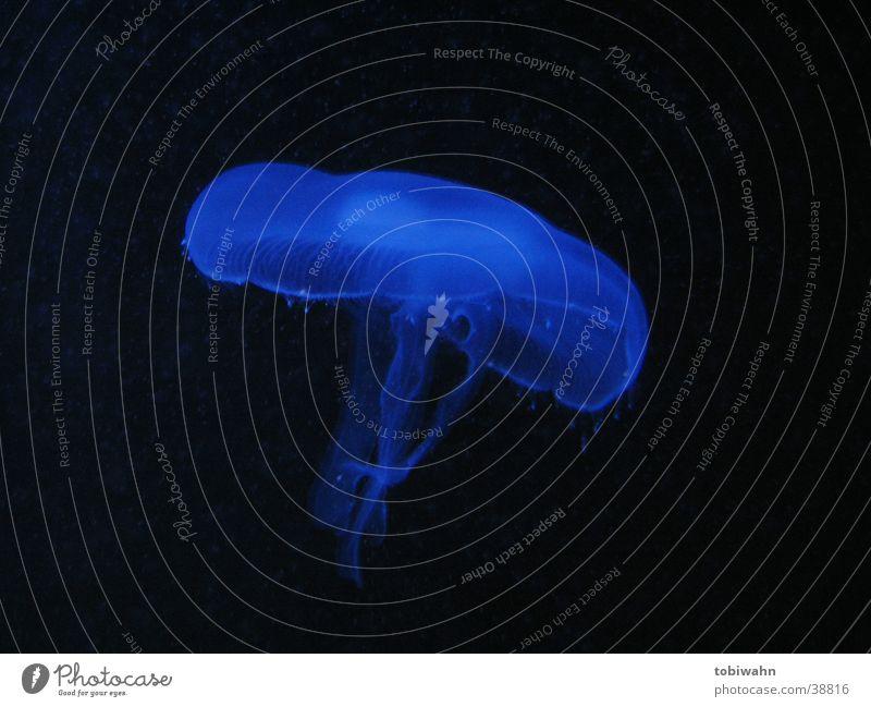 ein nettes haustier Wasser blau Tier dunkel Bewegung Verkehr Qualle