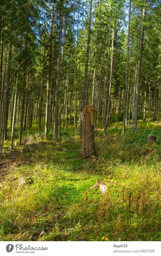 Umgeknickter Baum im Schwarzwald Fichte Fichtenwald Berge Wald Waldweg Natur Außenaufnahme Farbfoto Menschenleer Landschaft Umwelt Pflanze Tag Nadelwald Tanne