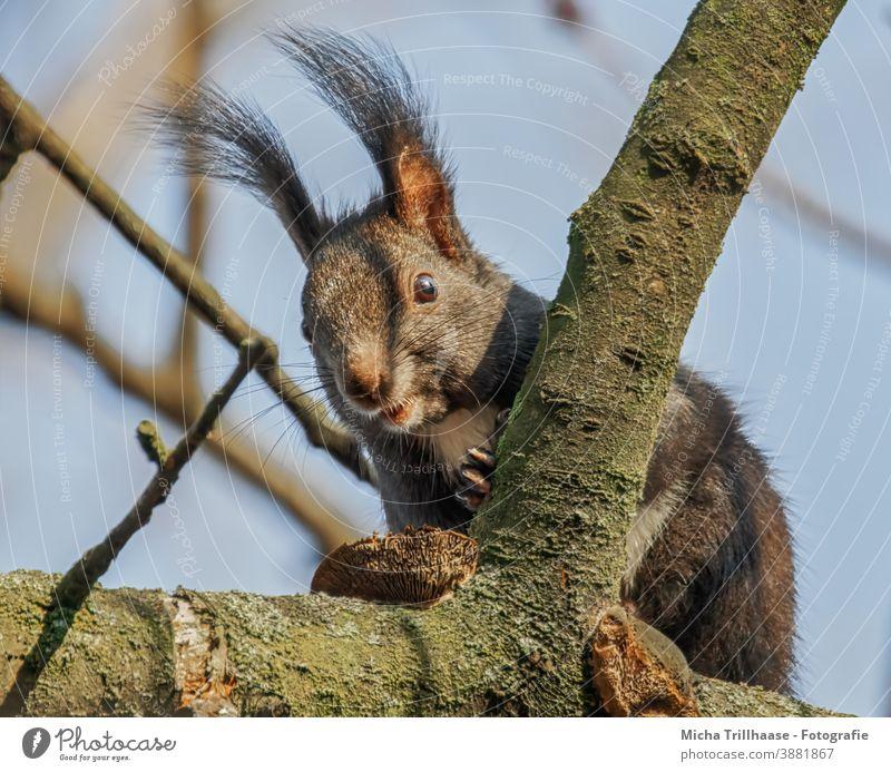 Neugierig schauendes Eichhörnchen im Baum Sciurus vulgaris Tiergesicht Kopf Auge Nase Ohr Maul Krallen Fell Nagetiere Wildtier Natur beobachten nah Sonnenlicht
