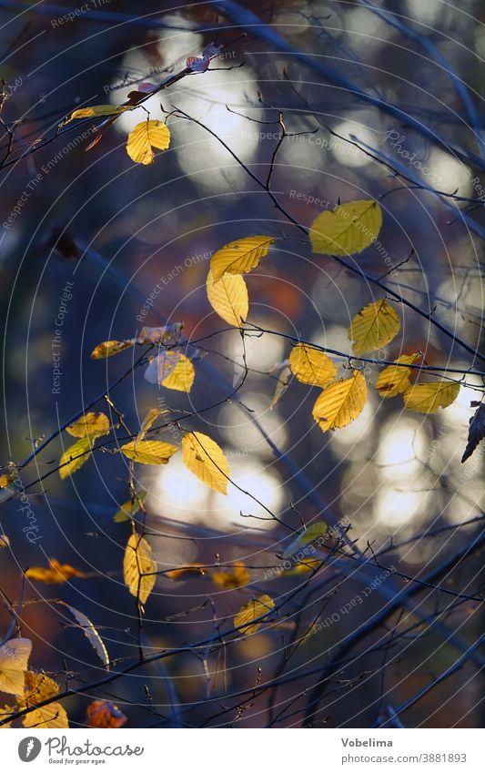 Blaetter im Herbst, Gegenlicht Buchenblätter ast blatt braun buche buchenwald gegenlicht gelb herbstlich jahreszeit sonne zweig reflexe grün