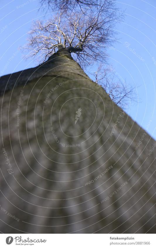 Blick von unten steil in eine Baumkrone Baumstamm Himmel Froschperspektive Stammhalter Rinde hoch Baumrinde Wachstum groß beeindruckend ragen kahl Natur
