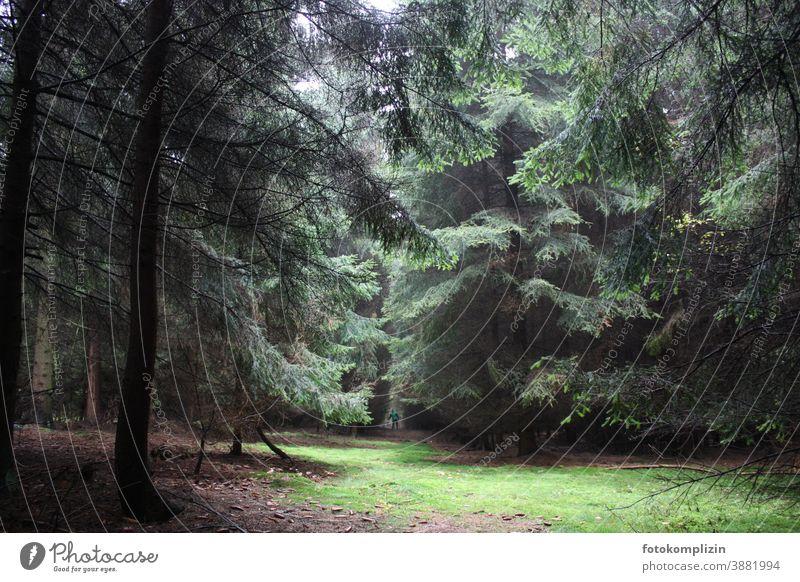 Nadelwald Lichtung Tannenwald Wald Tannenbäume Nadelbaum Waldlichtung Natur Umwelt Baum Herbst Pflanze grün Grünfläche Fichte Außenaufnahme Fichtenwald Forst