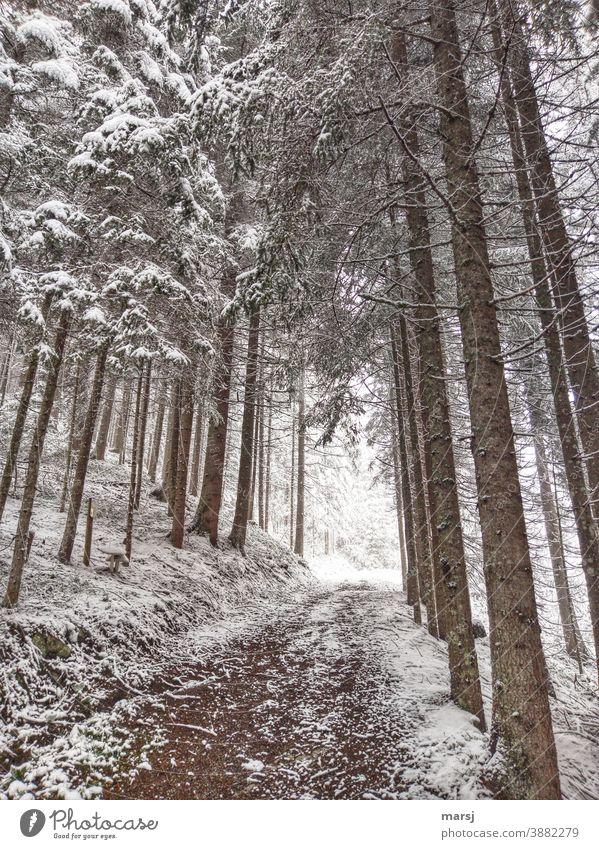 Winterspaziergang durch den Fichtenwald Spazierweg Wanderwege Schnee winterlich Winterzauber Winterstimmung kalt Wintertag Natur