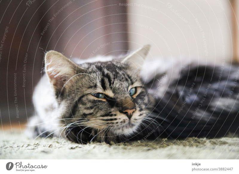 Nahaufnahme liegender Kater blinzelt in die Kamera Farbfoto geringe Tiefenschärfe Haustier Tierportrait Katze schlafen niedlich müde Blick gemütlich zuhause