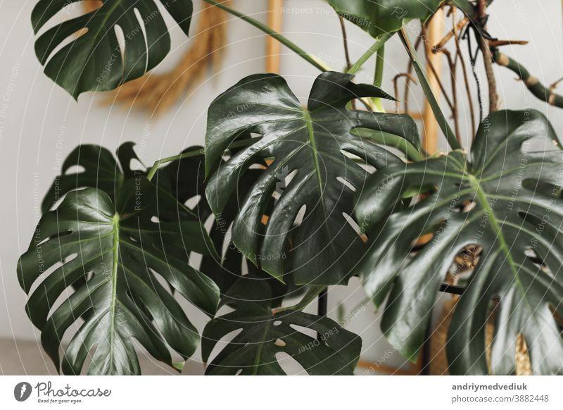 Großes grünes Blatt für Blumenarrangement. Monstera-Blatt. Beliebte Wahl des Floristen mit Blatt einer exotischen Dschungelpflanze. grüne Blätter. selektiver Schwerpunkt.