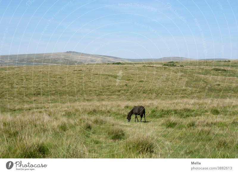 corona thoughts | Vereinzelung - Dartmoorpony grast allein im Dartmoor Pferd Pony Dartmoor Pony frei Tier Farbfoto Außenaufnahme Großbritannien