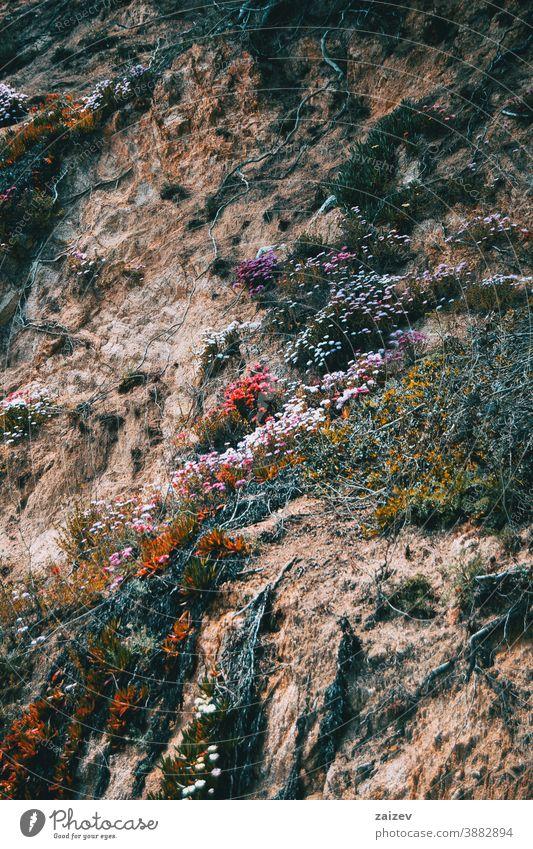 Ein mit bunten Blumen und wild wachsenden Wurzeln bewachsener Hang Berghang Wand Stein felsig Boden Blüte Überstrahlung Gras Pflanzen Vegetation rot purpur weiß