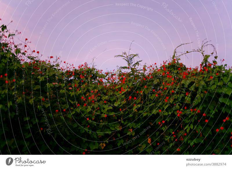 rote Blume in der Wildnis Mohn Feld Wiese wild schön Frühling Sommer Schönheit Blütenknospen Gras grün Blatt Natur Hintergrund Blütezeit Garten Landschaft