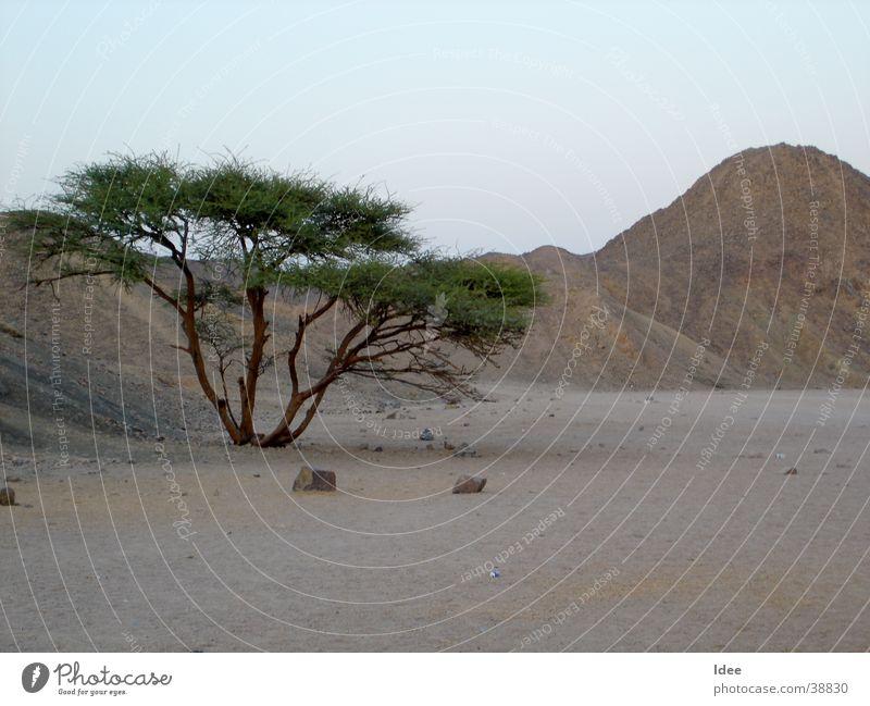 Wüste Baum Sonne Sand Wüste Afrika Ägypten Sahara