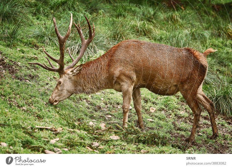 Hirsche grasen auf dem Gras Tier Geweih Horn Artiodaktylus Achse Achse Achsenhirsch Zervidae Zervus elaphus mit Knackpunkt hohlfüßig mit gespaltenen Hufen