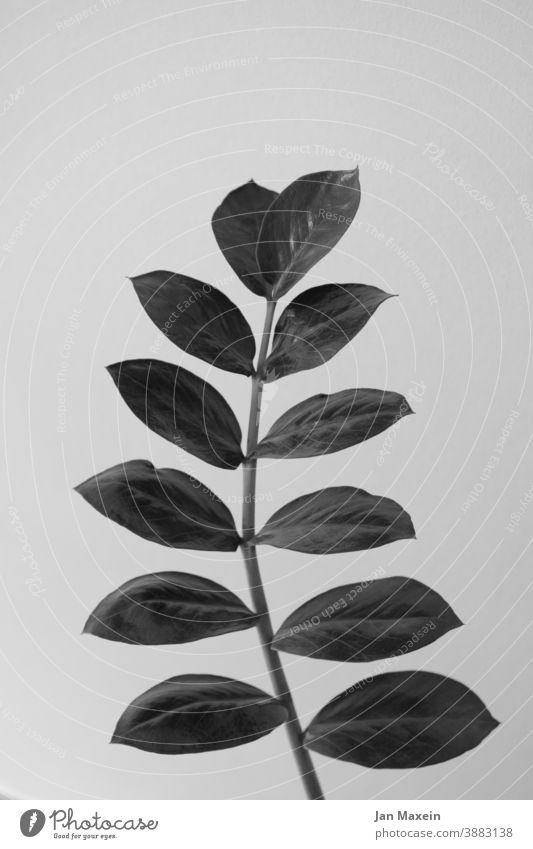 Pflanze Pflanzen Blatt Blattadern Blätter stängel Schwarzweißfoto abstehen gerade modern ästhetisch Natur grün Nahaufnahme Zimmerpflanze schön botanisch